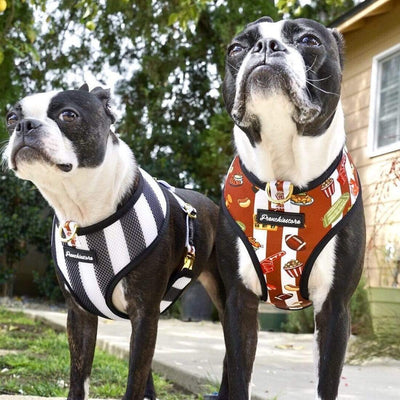 two Boston Terriers modeling Frenchiestore dog health harness superbowl reversible harness