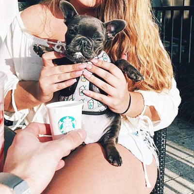 Tiny blue french bulldog puppy eanjoying his puppacino wearing frenchiestore starbucks harness