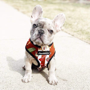 Merle Frenchie Bulldog puppy modeling Frenchiestore superbowl harness