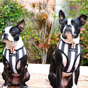 2 Boston Terrier dogs modeling Frenchiestore dog harness referee