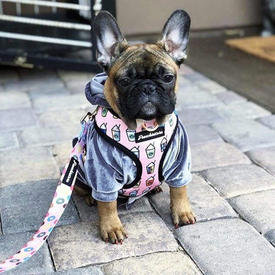 Cute puppy fawn french bulldog wearing frenchiestore dog harness