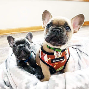 Blue fawn frenchie puppy wearing their frenchiestore dog harness and blue french bulldog tiny puppy