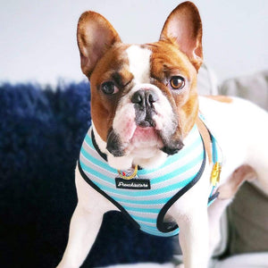 red pied french bulldog showing off best french bulldog harness