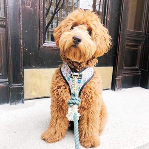 goldendoodle wearing frenchiestore dog harness featuring starbucks puppacinos on grey