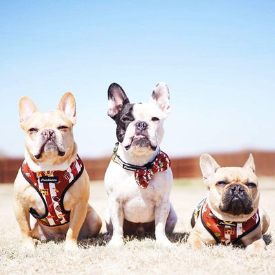 cream Frenchie fawn frenchie and black pied frenchie wearing their superbowl harness and breakaway collar and bow tie from frenchiestore