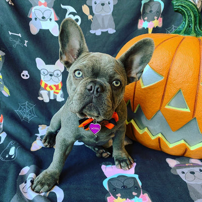 Frenchie blanket halloween