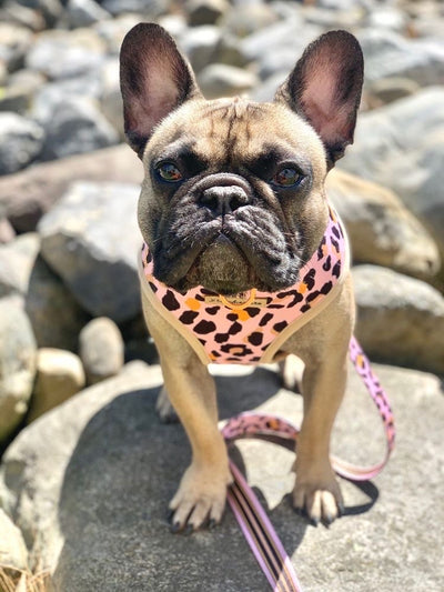 Frenchie harness Wild One