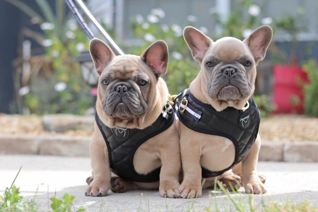 Frenchiestore Dual Dog Leash | Black Varsity, Frenchie Dog, French Bulldog pet products