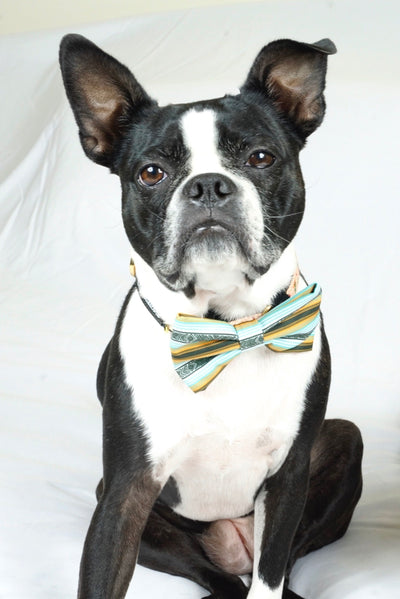 Boston Terrier Hundefliege