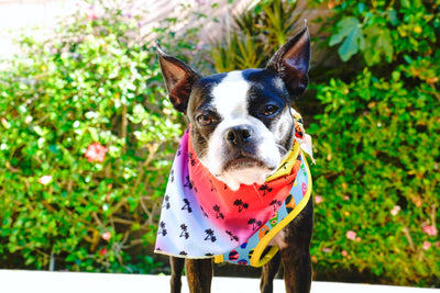 Boston Terrier dog bandana