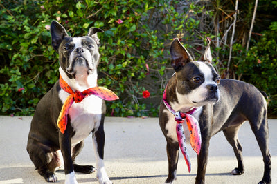 Boston Terrier dogs wearing pet scarves