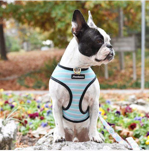 Black pied deaf frenchie wearing his frenchiestore dog harness with teal white and grey striped harness