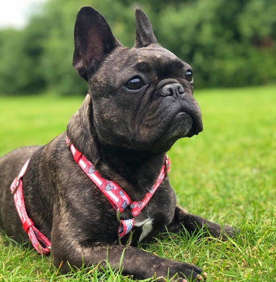 Frenchie Gurt in Pink