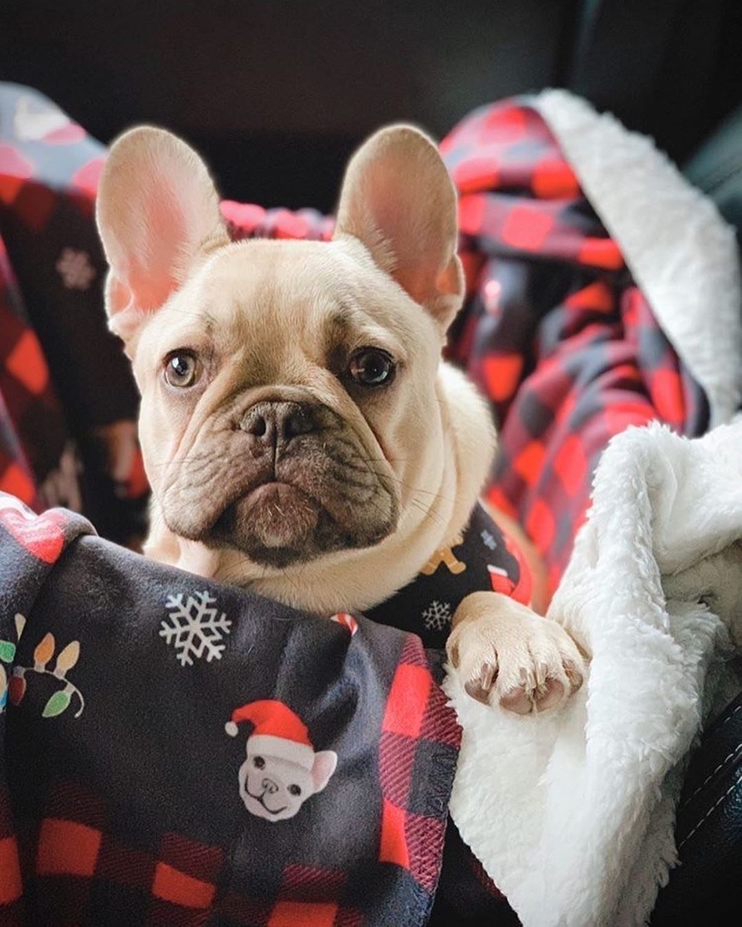 Frenchie Blanket | Frenchiestore | French Bulldog's Christmas, Frenchie Dog, French Bulldog pet products