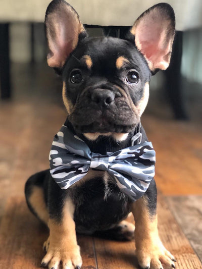 Nettes Frenchie-Hündchen in camo Bowtie