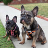 Frenchie dual d ring harness