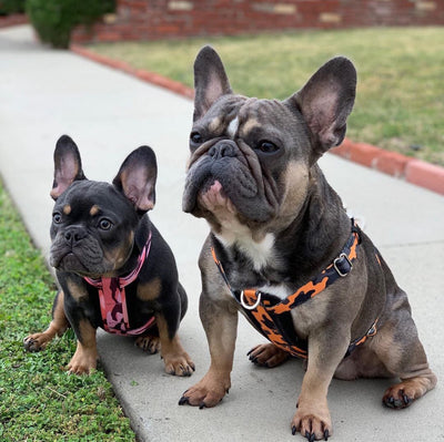 Frenchie Bulldog camo harness