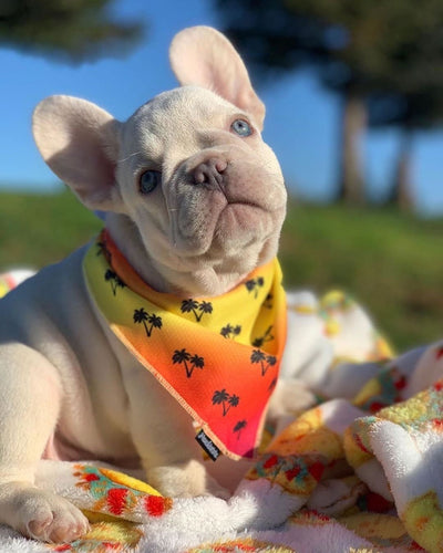 Frenchie puppy dog bandana