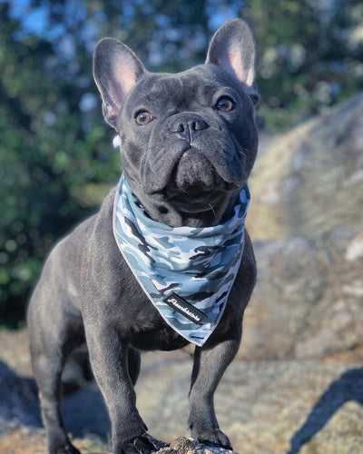 Blue Frenchie wearing Frenchiestore cooling bandana in blue camo
