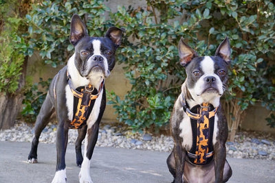Boston terrier dog harness