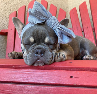 Black and tan Frenchie rare color