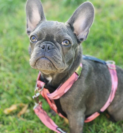 Frenchie Hundegeschirr vorne