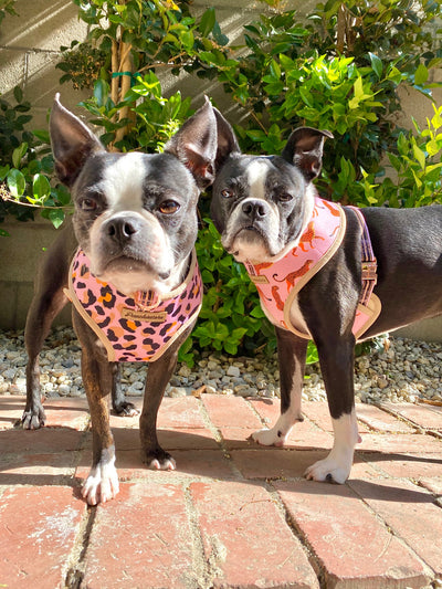 Boston Terrier dogs wearing Frenchiestore Reversible Harness