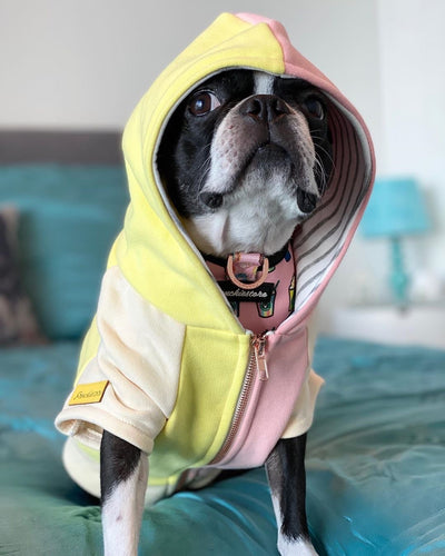 Dog hoodie for Boston Terriers