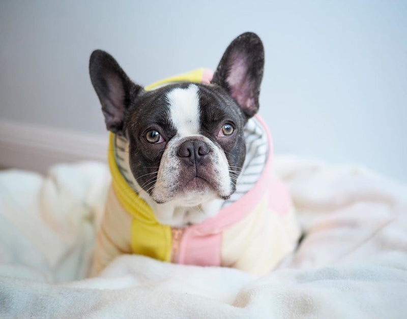 French Bulldog hoodie | Frenchie Clothing | Banana Split