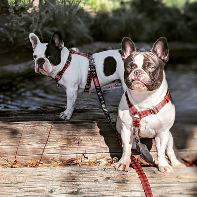 Harnais Bouledogue Frenchie