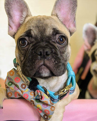 Frenchie Welpe