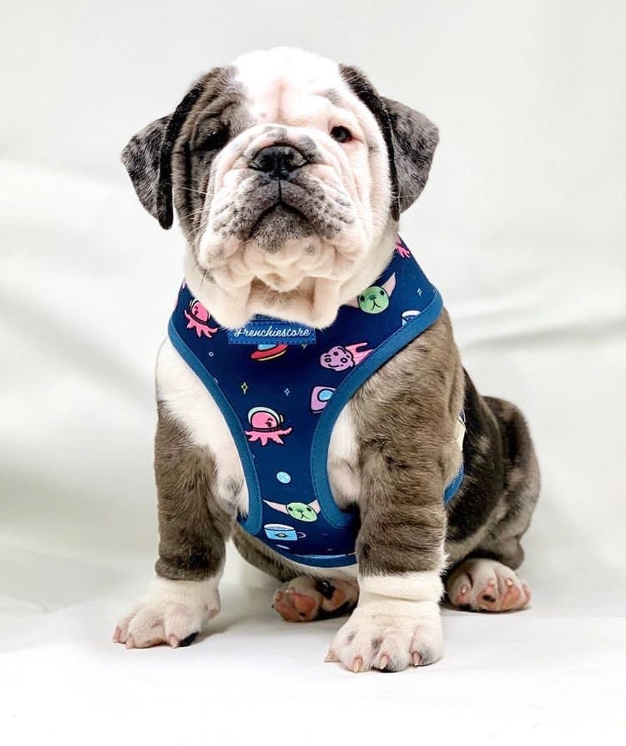 French Bulldog Harness | Versatile Health Harness | The Child