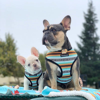 platinum frenchie puppy and rare blue and tan french bulldog