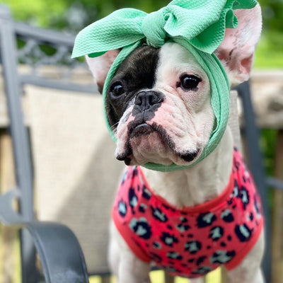 Baby girl frenchie dog with mint bow