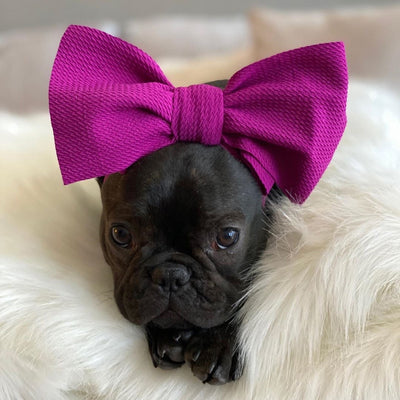 Frenchie puppy with a head bow