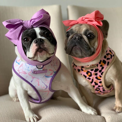 Frenchie bulldogs with head bows