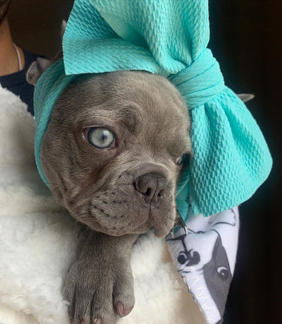 Frenchie dog with a bow