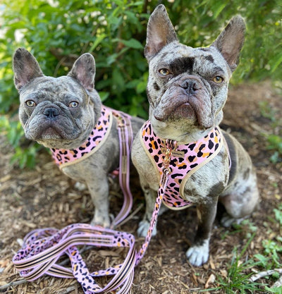 Merle Frenchies wearing reversible dog harness wild one