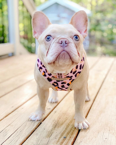 Cream Frenchie puppy in pink reversible leo harness
