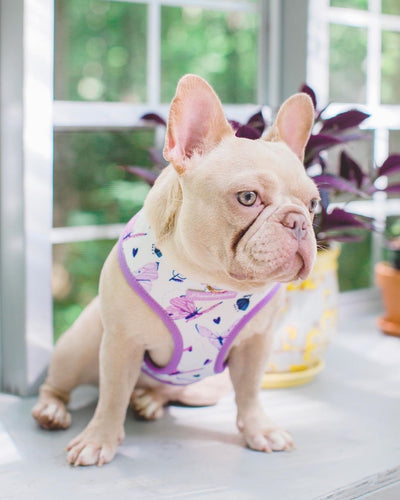 Frenchie puppy wearing magical butterfly harness