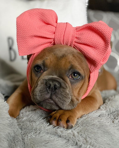 Puppy Frenchie with a head bow