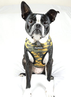 Boston Terrier dog modeling Frenchiestore harness in camo