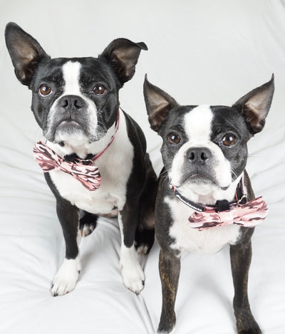 Boston Terrier indossando la cravatta mimetica frenchiestore