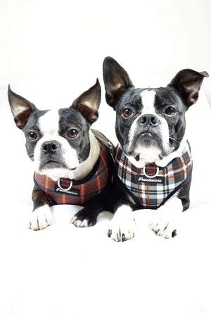 2 Boston Terrier dogs modeling Frenchiestore dog harness tartan