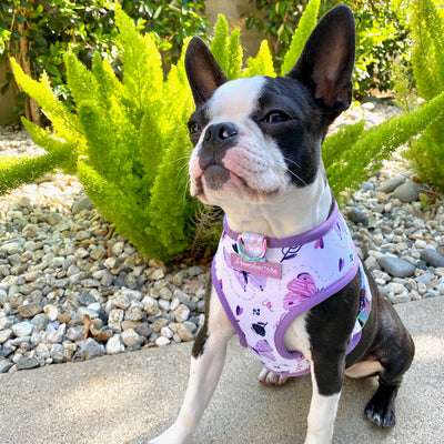 Boston Terrier puppy in Magical Butterfly Reversible harness