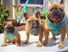 French Bulldog breeder dog harness