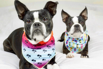 Boston Terriers dogs wearing cooling bandanas made by Frenchiestore