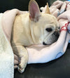 French Bulldogs & Football blanket