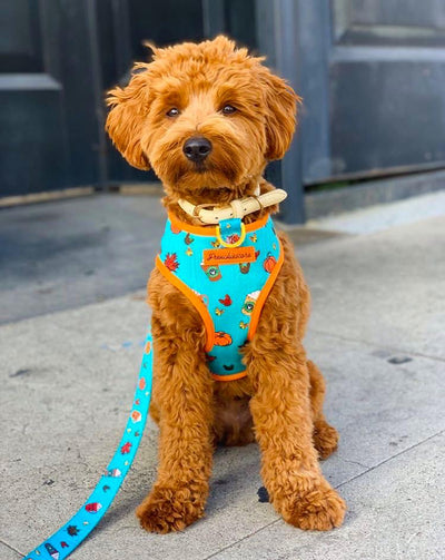 mini goldendoodle dog harness