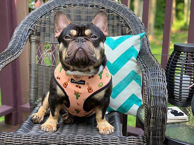 black and tan frenchie wearing best frenchie harness made by frenchiestore